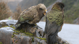 Recording interactions between kea