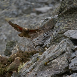 Summer in the mountains – return of the kea gangs
